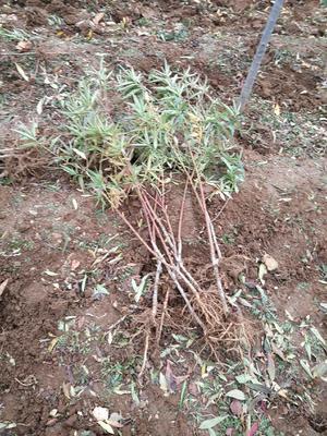 这是一张关于金秋红蜜桃苗 1~1.5米的产品图片