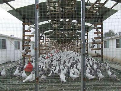 这是一张关于银羽王鸽子蛋 孵化 箱装的产品图片
