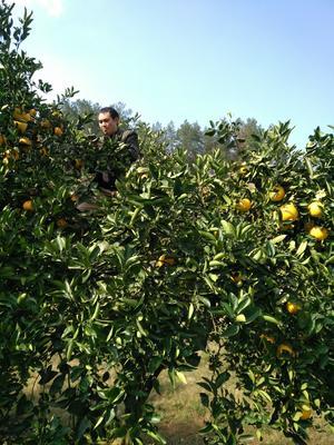 贵州省遵义市遵义县胡柚 1斤以下