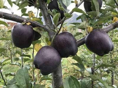 这是一张关于黑钻苹果树苗 1~1.5米的产品图片