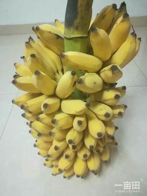 这是一张关于海南野生粉蕉 八成熟的产品图片