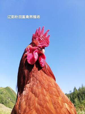 这是一张关于土鸡 4-5斤 公的产品图片
