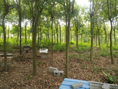 广西壮族自治区来宾市兴宾区宫粉紫荆树