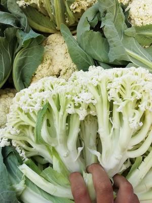 这是一张关于白面青梗松花菜 松散 2~3斤的产品图片