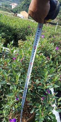 广东省云浮市云城区巴西野牡丹 0.5~1米 20cm以上 4~6cm