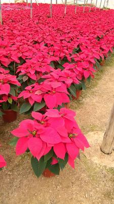 这是一张关于一品红 造型树的产品图片