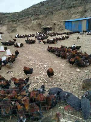 河北省承德市围场满族蒙古族自治县灰色珍珠鸡 4-6斤