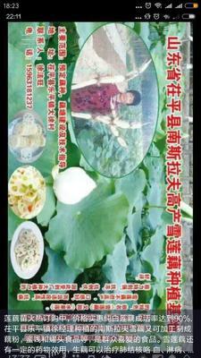 这是一张关于南斯拉夫雪莲藕 15~20cm 5-7cm的产品图片