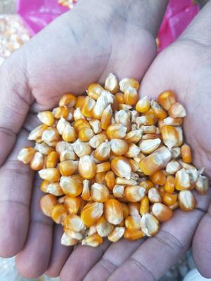 云南省德宏傣族景颇族自治州瑞丽市玉米干粮 杂质很少 水份17%-20%