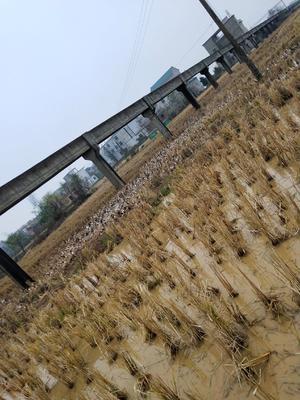 江西省上饶市万年县绍鸭 3-4斤 母 全散养