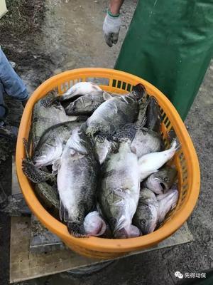 湖南省常德市汉寿县斑鳜 野生 0.8斤-1.4斤 生态养殖