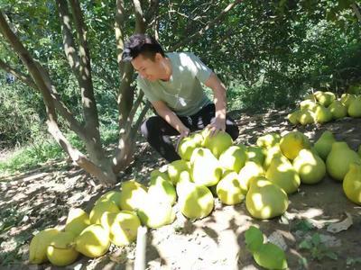 广西壮族自治区柳州市融安县沙田柚 1.5斤以上