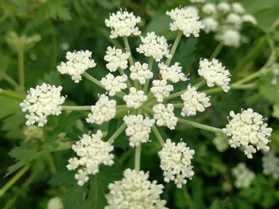 这是一张关于白花前胡种子的产品图片
