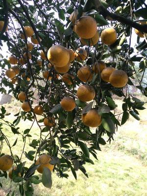 贵州省遵义市遵义县胡柚 5斤以上