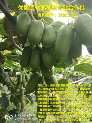 软枣猕猴桃苗 扦插苗