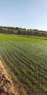 这是一张关于绥粳18号 中稻/一季稻的产品图片
