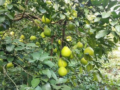 广西壮族自治区柳州市三江侗族自治县沙田柚 1.5斤以上