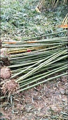 这是一张关于紫竹的产品图片