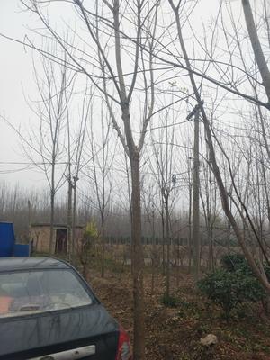 江苏省宿迁市沭阳县速生白蜡 5米以上