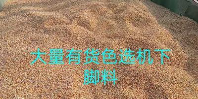 安徽省阜阳市界首市正大12号玉米粒 净货 水份14%-16%