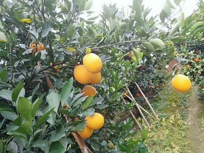 这是一张关于赣南脐橙 90-95mm 4两以下的产品图片