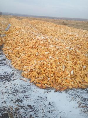 黑龙江省绥化市海伦市鹏玉1号玉米粒 杂质很少 水份20%-30%