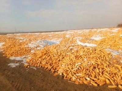 黑龙江省哈尔滨市依兰县玉米湿粮 毛货 水份20%-30%