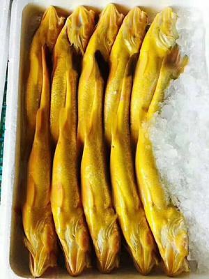 福建省宁德市蕉城区大黄鱼 人工殖养 0.5公斤以下
