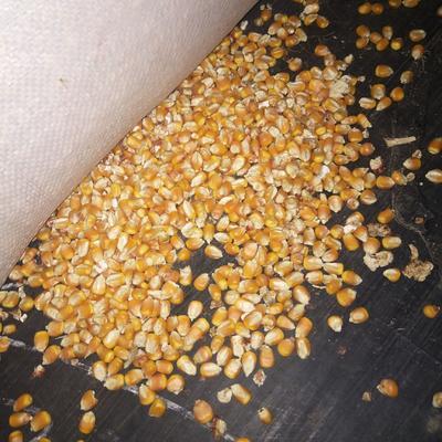 山东省临沂市沂南县玉米干粮 净货 水份14%-16%