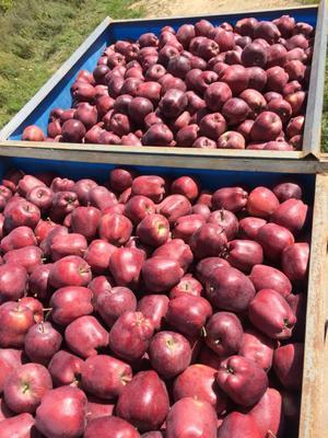这是一张关于花牛苹果 75mm以下 全红 光果的产品图片