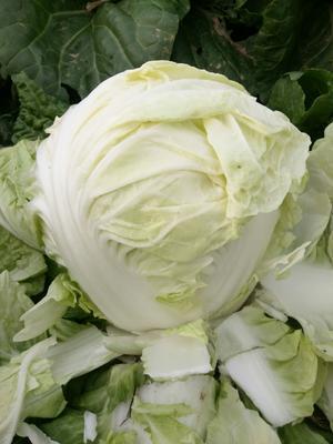 安徽省阜阳市颍州区秋美白菜 3~6斤 净菜