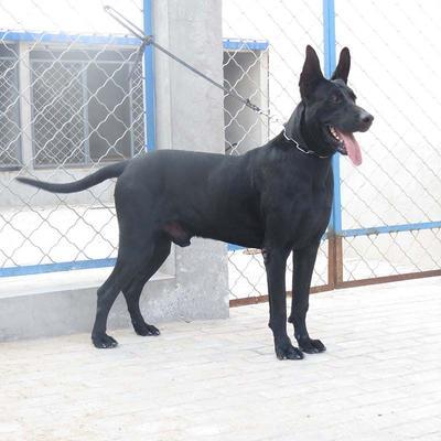 这是一张关于黑狼犬的产品图片