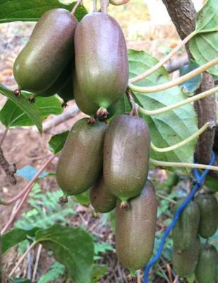 这是一张关于软枣猕猴桃苗 嫁接苗的产品图片