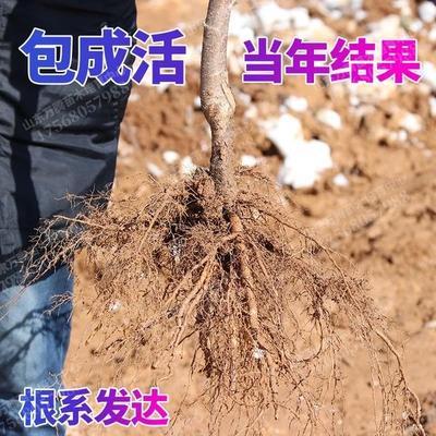 布鲁克斯樱桃树苗 现挖现卖,包成活。