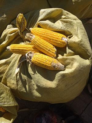甘肃省金昌市金川区先达糯001玉米粒 杂质很少 水份14%-16%