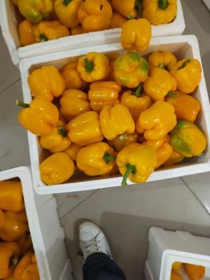 河北省张家口市崇礼县红球菊苣 8~9两