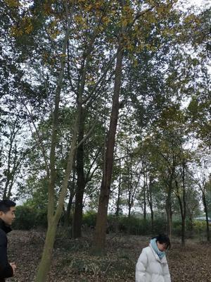 四川省成都市郫县普通水杉