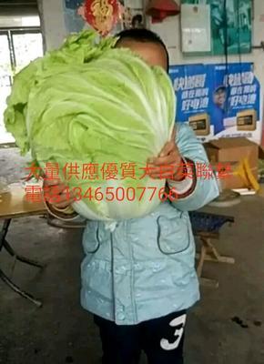 山东省菏泽市郓城县德高101大白菜 6~10斤 净菜