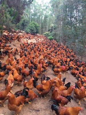 这是一张关于阉鸡 5-6斤 公的产品图片