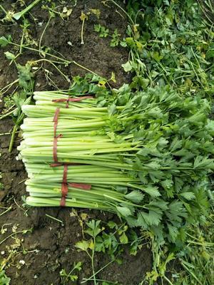 山东省潍坊市诸城市美国文图拉芹菜 60cm以上 0.5斤以下 大棚种植