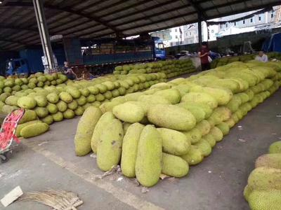 广东省湛江市徐闻县海南菠萝蜜 15斤以上