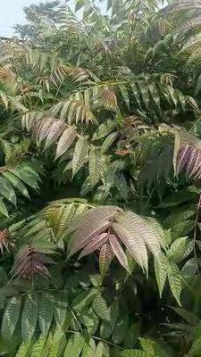 山东省泰安市岱岳区香椿 入大棚露天栽用来绿化