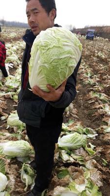 安徽省亳州市谯城区北京新三号白菜 6~10斤 毛菜
