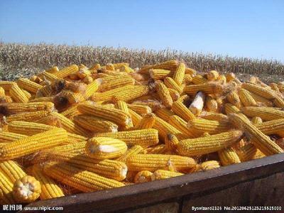 黑龙江省大庆市肇州县玉米湿粮  净货 水份20%-30% 玉米好