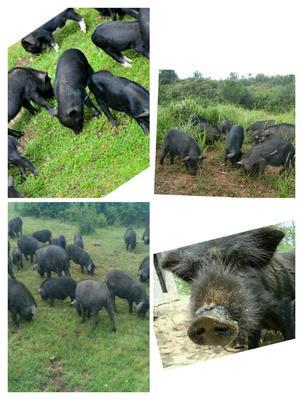 这是一张关于藏香猪 40-60斤的产品图片