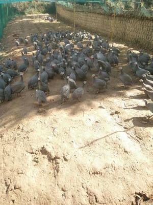 云南省曲靖市马龙县灰色珍珠鸡 2-4斤