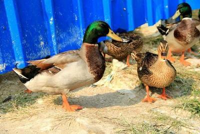 这是一张关于绿头鸭 2-3斤的产品图片