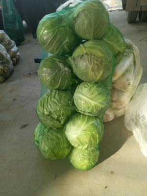湖北省襄阳市宜城市双龙3号包菜 5斤以上