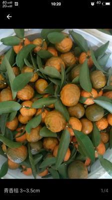 这是一张关于香橘 3.5 - 4cm 1 - 1.5两的产品图片