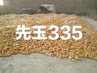 甘肃省武威市古浪县先玉335玉米粒 毛货 水份17%-20%